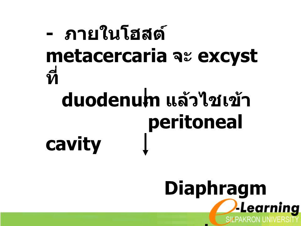 - ภายในโฮสต์ metacercaria จะ excyst ที่ duodenum แล้วไชเข้า peritoneal cavity Diaphragm ปอด (encapsulate ภายในปอด )
