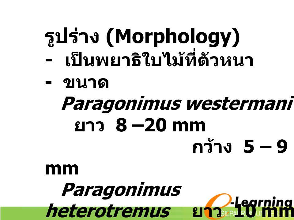 รูปร่าง (Morphology) - เป็นพยาธิใบไม้ที่ตัวหนา - ขนาด Paragonimus westermani ยาว 8 –20 mm กว้าง 5 – 9 mm Paragonimus heterotremus ยาว 10 mm กว้าง 5 mm
