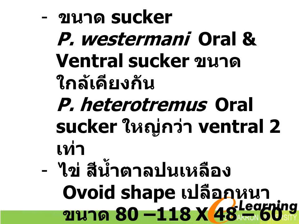 - ขนาด sucker P.westermani Oral & Ventral sucker ขนาด ใกล้เคียงกัน P.