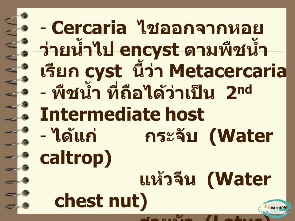 - พยาธิเจริญในหอย เปลี่ยนแปลงรูปร่างและ เพิ่มจำนวน Miracidium Sporocyst Redia Cercaria