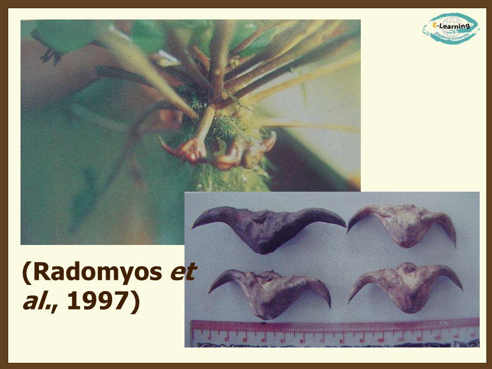 Segmentina hemisphaerula (Radomyos et al., 1997) Segmentina trochoideus
