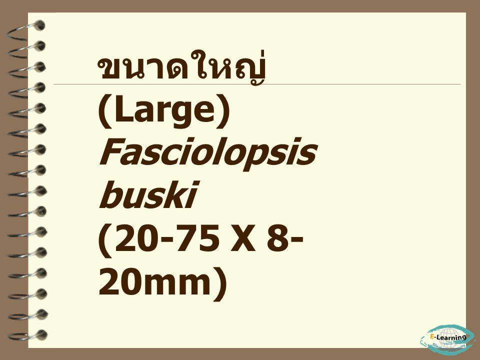 - พยาธิใบไม้ลำไส้ เป็นพวก ที่อาศัยอยู่ในระบบ ทางเดินอาหาร ของโฮสต์ - สามารถแบ่งออกได้ตาม ขนาดของลำตัวเป็น 3 กลุ่ม คือ