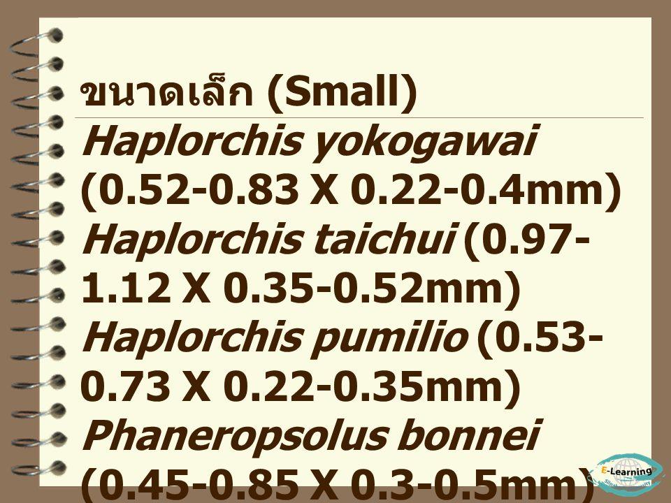 ขนาดกลาง (Medium) Echinostoma ilocanum (2.5-6.5 X 0.7-1.4mm) Echinostoma malayanum (9 X 2 mm) Echinostoma revolutum (8-11 X 1-2.5mm) Hypoderaeum conoi