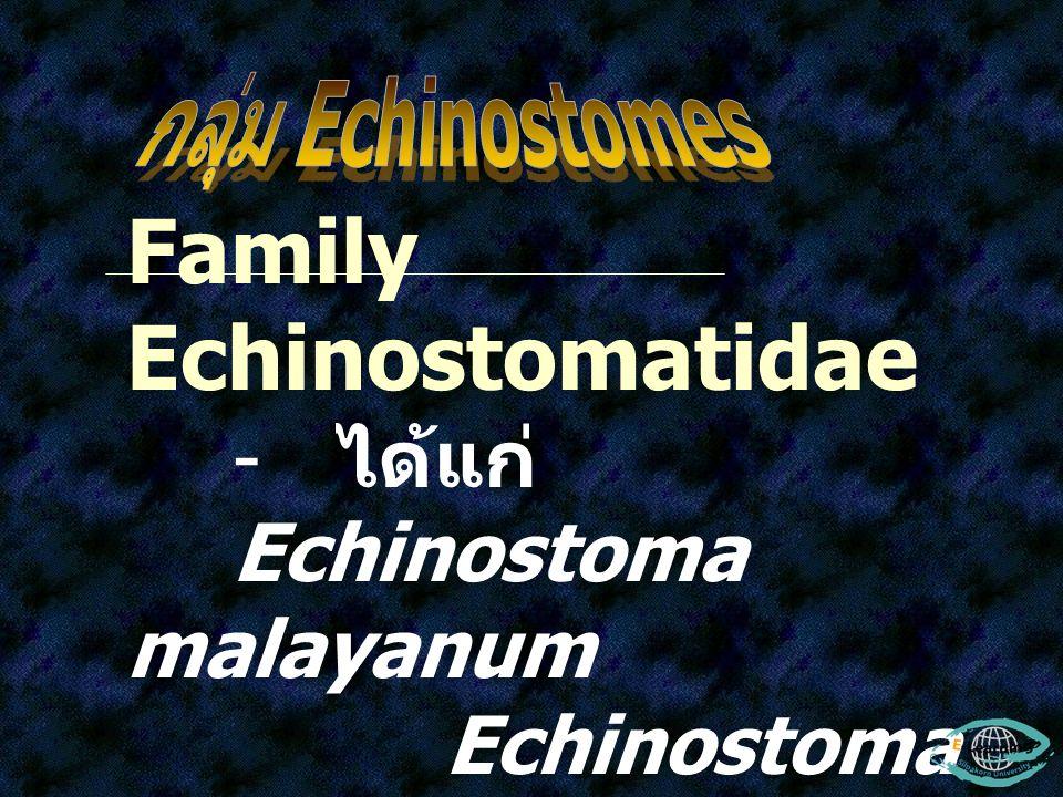 Family Echinostomatidae - ได้แก่ Echinostoma malayanum Echinostoma revolutum Echinostoma ilocanum Hypodereaum conoideum