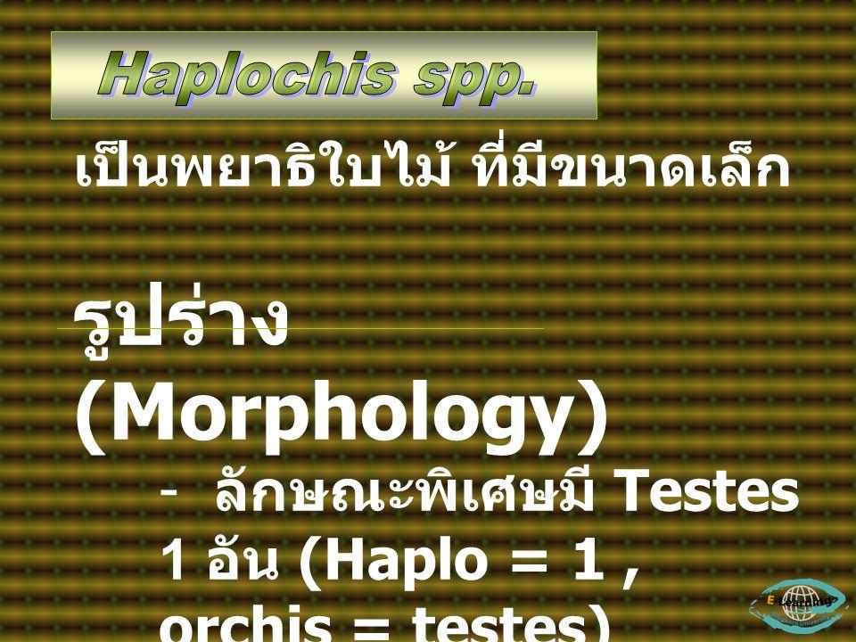 เป็นพยาธิใบไม้ ที่มีขนาดเล็ก รูปร่าง (Morphology) - ลักษณะพิเศษมี Testes 1 อัน (Haplo = 1, orchis = testes) - มี sucker พิเศษ เรียกว่า Gonotyl