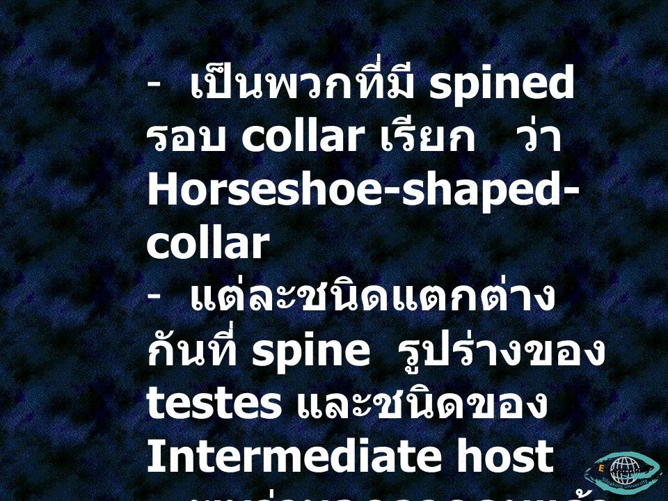 - เป็นพวกที่มี spined รอบ collar เรียก ว่า Horseshoe-shaped- collar - แต่ละชนิดแตกต่าง กันที่ spine รูปร่างของ testes และชนิดของ Intermediate host - พ