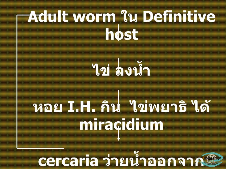 Adult worm ใน Definitive host ไข่ ลงน้ำ หอย I.H. กิน ไข่พยาธิ ได้ miracidium cercaria ว่ายน้ำออกจาก หอย ไชเข้าปลาน้ำจืด เป็น metacercaria ในปลา