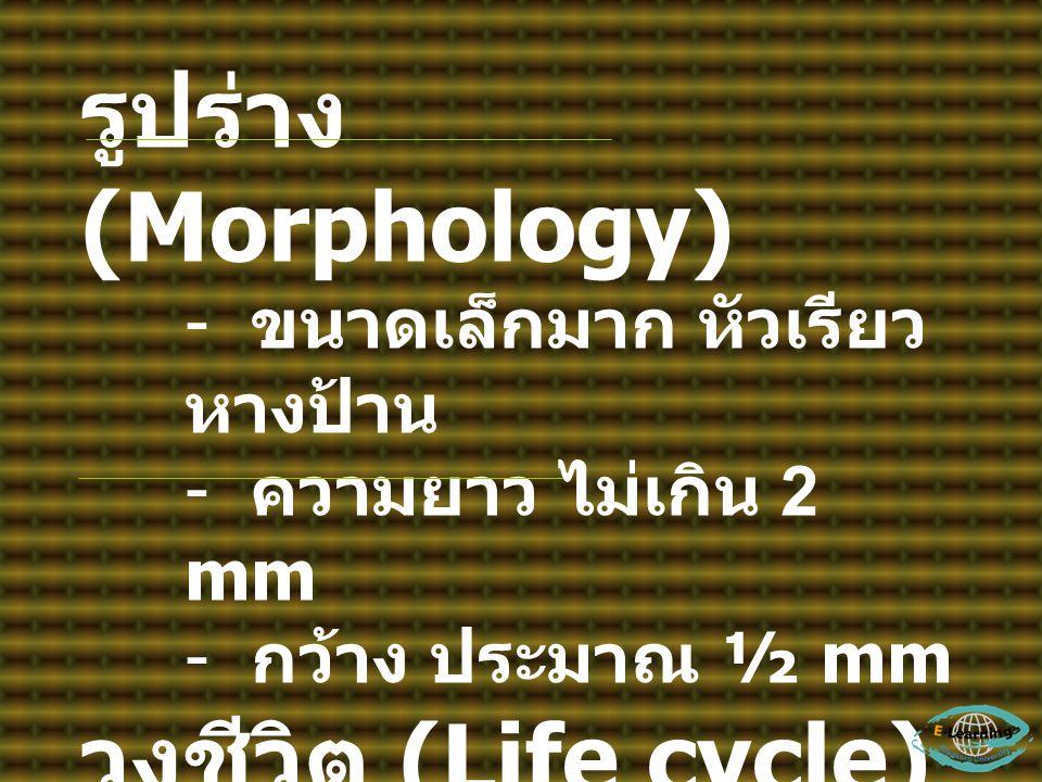 รูปร่าง (Morphology) - ขนาดเล็กมาก หัวเรียว หางป้าน - ความยาว ไม่เกิน 2 mm - กว้าง ประมาณ ½ mm วงชีวิต (Life cycle) - Adult worm อาศัยอยู่ ในลำไส้ของโ