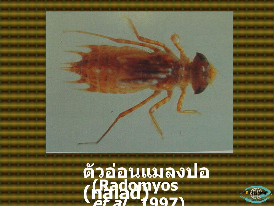 ตัวอ่อนแมลงปอ (naiad) (Radomyos et al., 1997)