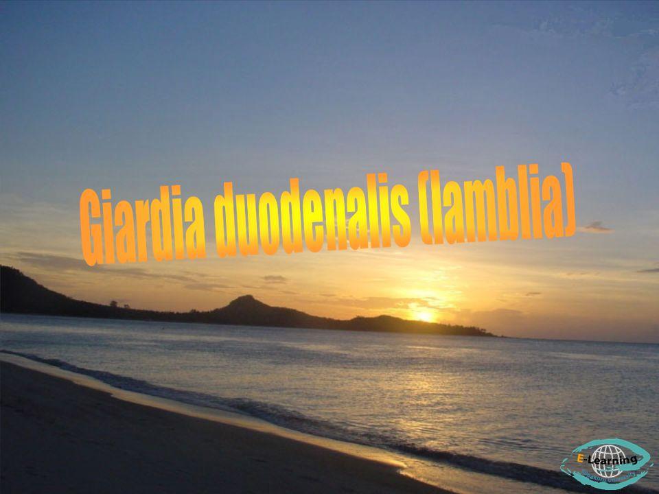 lamblia = intestinalis Giardia duodenalis ( lamblia ) การแพร่กระจาย ( Distribution ) พบได้ทั่วโลก พบมากใน เด็ก และถือเป็น โรค Zoonotic คือสามารถ ติดต่อจาก สัตว์มาสู่คนได้