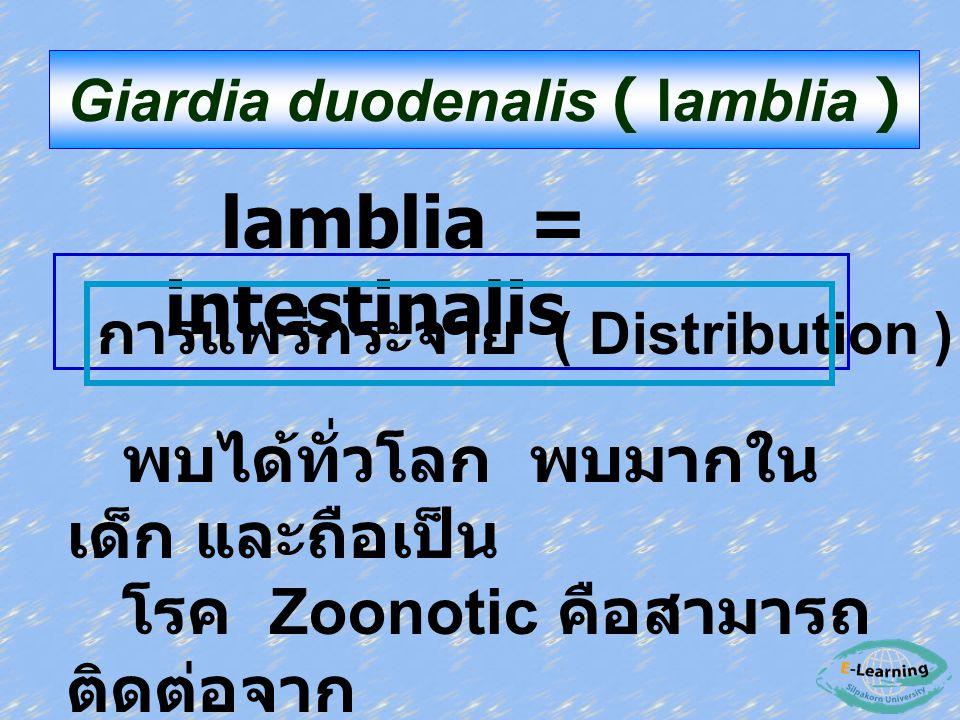 lamblia = intestinalis Giardia duodenalis ( lamblia ) การแพร่กระจาย ( Distribution ) พบได้ทั่วโลก พบมากใน เด็ก และถือเป็น โรค Zoonotic คือสามารถ ติดต่