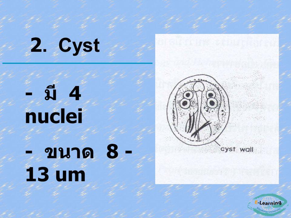 - มี 4 nuclei - ขนาด 8 - 13 um 2. Cyst