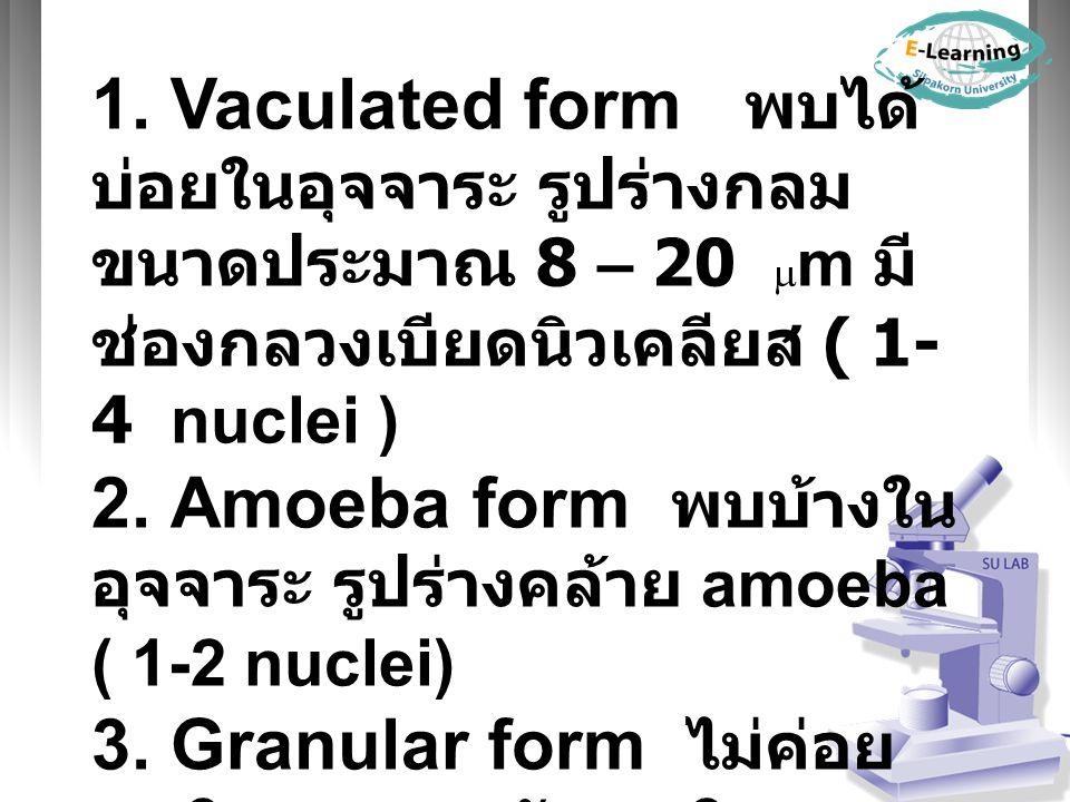 1. Vaculated form พบได้ บ่อยในอุจจาระ รูปร่างกลม ขนาดประมาณ 8 – 20  m มี ช่องกลวงเบียดนิวเคลียส ( 1- 4 nuclei ) 2. Amoeba form พบบ้างใน อุจจาระ รูปร่