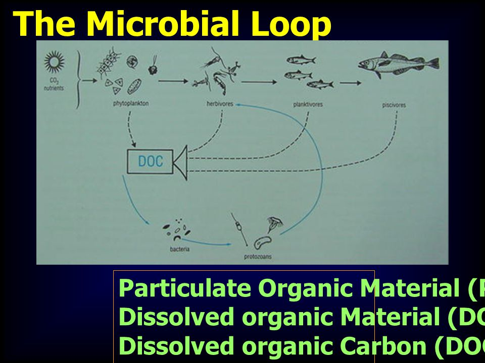 The Microbial Loop Particulate Organic Material (POM) Dissolved organic Material (DOM) ; Dissolved organic Carbon (DOC)