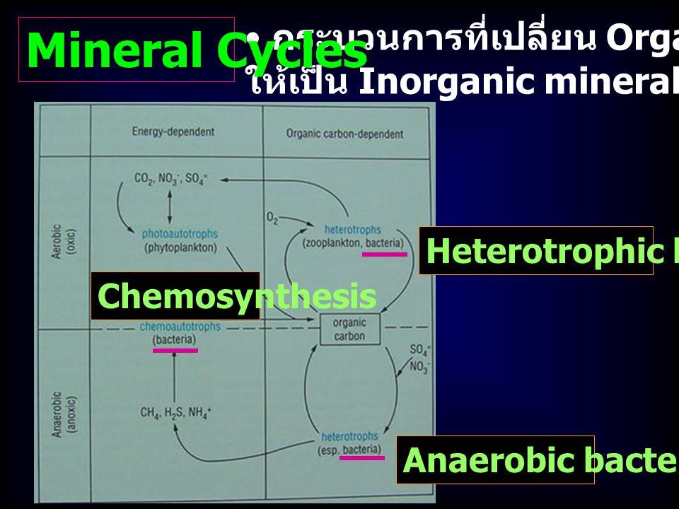 กระบวนการที่เปลี่ยน Organic material ให้เป็น Inorganic mineral = Mineralization Mineral Cycles Heterotrophic bacteria Anaerobic bacteria Chemosynthesis