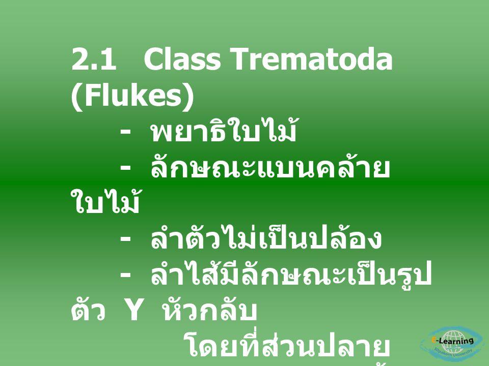 2.1 Class Trematoda (Flukes) - พยาธิใบไม้ - ลักษณะแบนคล้าย ใบไม้ - ลำตัวไม่เป็นปล้อง - ลำไส้มีลักษณะเป็นรูป ตัว Y หัวกลับ โดยที่ส่วนปลาย ( Posterior)