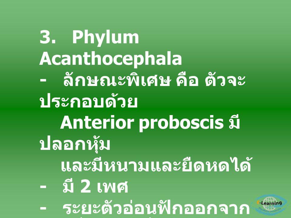 3. Phylum Acanthocephala - ลักษณะพิเศษ คือ ตัวจะ ประกอบด้วย Anterior proboscis มี ปลอกหุ้ม และมีหนามและยืดหดได้ - มี 2 เพศ - ระยะตัวอ่อนฟักออกจาก ไข่