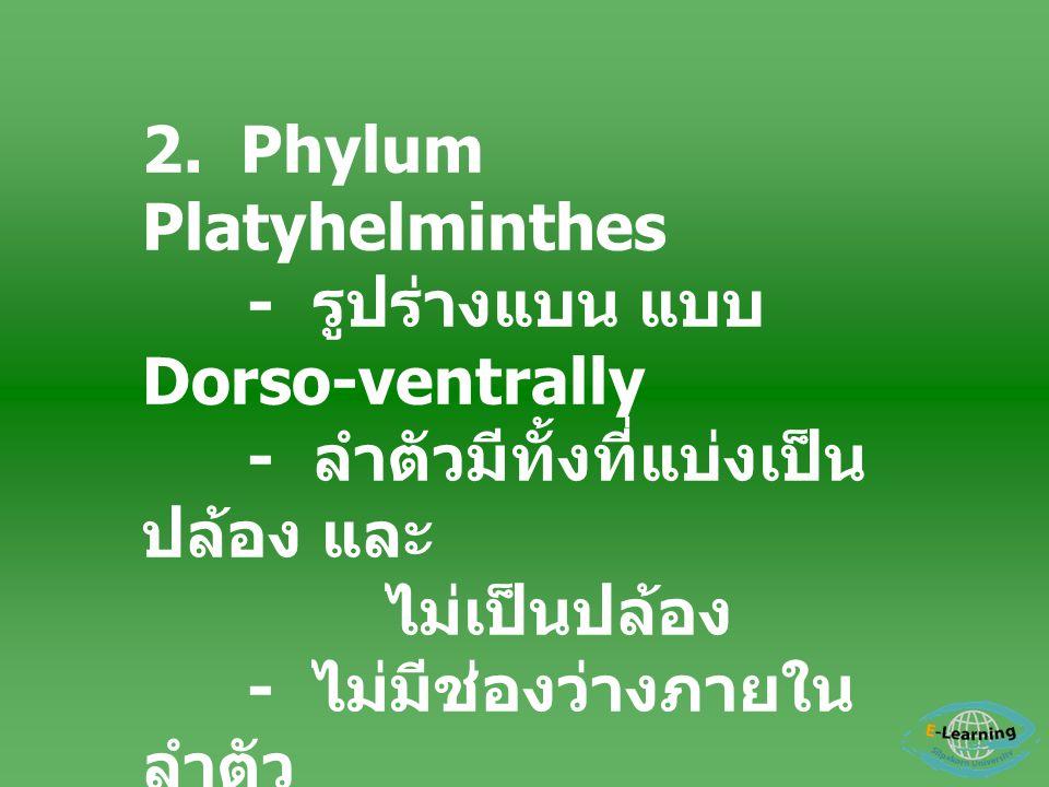 2. Phylum Platyhelminthes - รูปร่างแบน แบบ Dorso-ventrally - ลำตัวมีทั้งที่แบ่งเป็น ปล้อง และ ไม่เป็นปล้อง - ไม่มีช่องว่างภายใน ลำตัว - ระบบทางเดินอาห