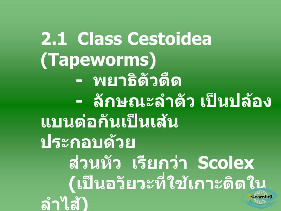 2.1 Class Cestoidea (Tapeworms) - พยาธิตัวตืด - ลักษณะลำตัว เป็นปล้อง แบนต่อกันเป็นเส้น ประกอบด้วย ส่วนหัว เรียกว่า Scolex ( เป็นอวัยวะที่ใช้เกาะติดใน