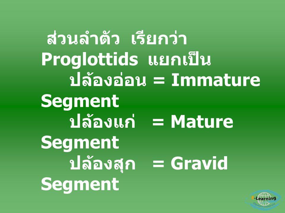 ส่วนลำตัว เรียกว่า Proglottids แยกเป็น ปล้องอ่อน = Immature Segment ปล้องแก่ = Mature Segment ปล้องสุก = Gravid Segment - อวัยวะสืบพันธุ์ มี 2 เพศ อยู