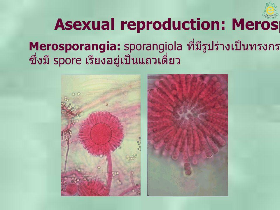 Asexual reproduction: Merosporangia Merosporangia: sporangiola ที่มีรูปร่างเป็นทรงกระบอก (cylindrical) ซึ่งมี spore เรียงอยู่เป็นแถวเดี่ยว