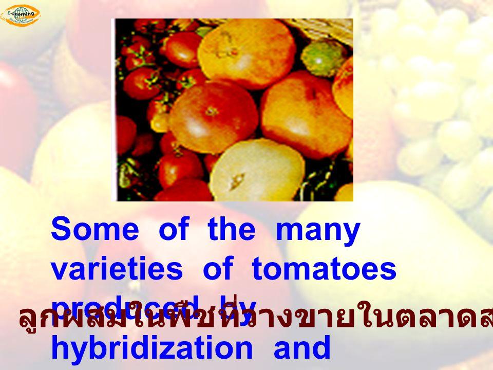 Some of the many varieties of tomatoes produced by hybridization and selection. ลูกผสมในพืชที่วางขายในตลาดสร้างจากพืชพันธุ์แท้