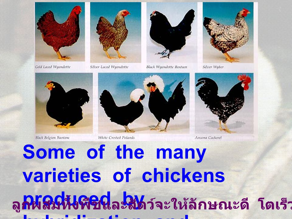 Some of the many varieties of chickens produced by hybridization and selection.