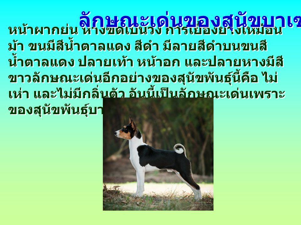 บาเซนจิ เป็นสุนัขที่น่าทึ่งมาก มันมักจะวิ่งเหยาะๆ ราวกับม้า ที่มีท่วงท่าสง่างาม ราวม้าพันธุ์ดี ชอบ เลียขนรักษาความสะอาดให้ตัวเอง ราวกับแมว และชอบร้องเพลงมากกว่าเห่า ชื่อของมันมาจาก ภาษาบาตู แปลว่า ดั้งเดิม บางถิ่นก็เรียกชื่ออื่นว่า สุนัขคองโก ลักษณะเด่นของสุนัขบาเซนจิ ( ต่อ )