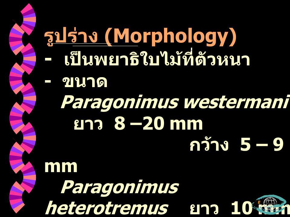 - ด้าน Posterior เรียวกว่า Anterior - สีน้ำตาลแดง - ผิว เป็น Scale – like – spine - Testes Paragonimus westermani เป็น lobe เรียงตัวแบบ Opposite Paragonimus heterotremus เป็น branch