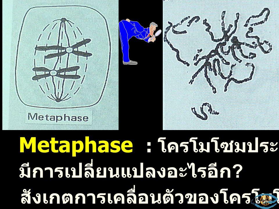 ระยะ Late Prophase สังเกตโครโมโซมและ nuclear membrane