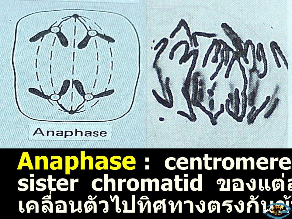 Metaphase : โครโมโซมประกอบด้วย 2 โครมาติด มีการเปลี่ยนแปลงอะไรอีก .