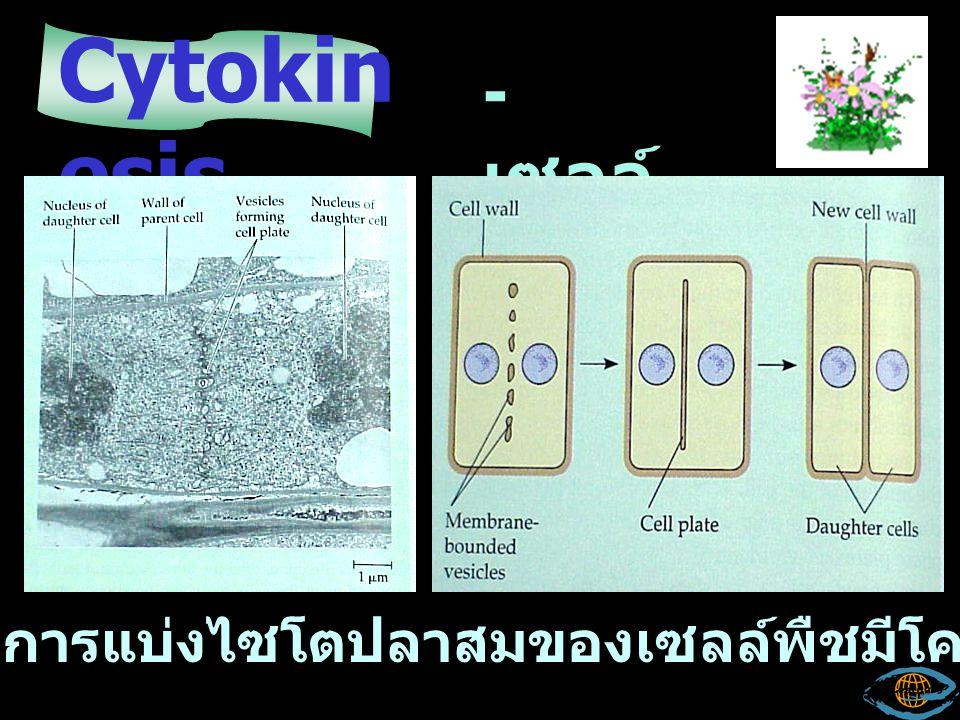Cytoki nesis - เซลล์ สัตว์ ข้อสังเกตการแบ่งเซลล์ไซโตปลาสสึมของเซลล์สัตว์คือ ?