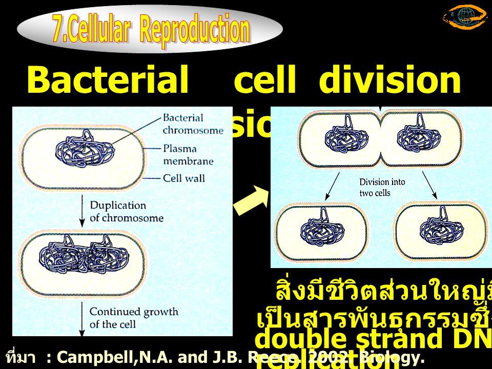 Bacterial cell division (binary fission) สิ่งมีชีวิตส่วนใหญ่มี DNA เป็นสารพันธุกรรมซึ่งมีลักษณะ double strand DNA และมี DNA replication ที่มา : Campbell,N.A.