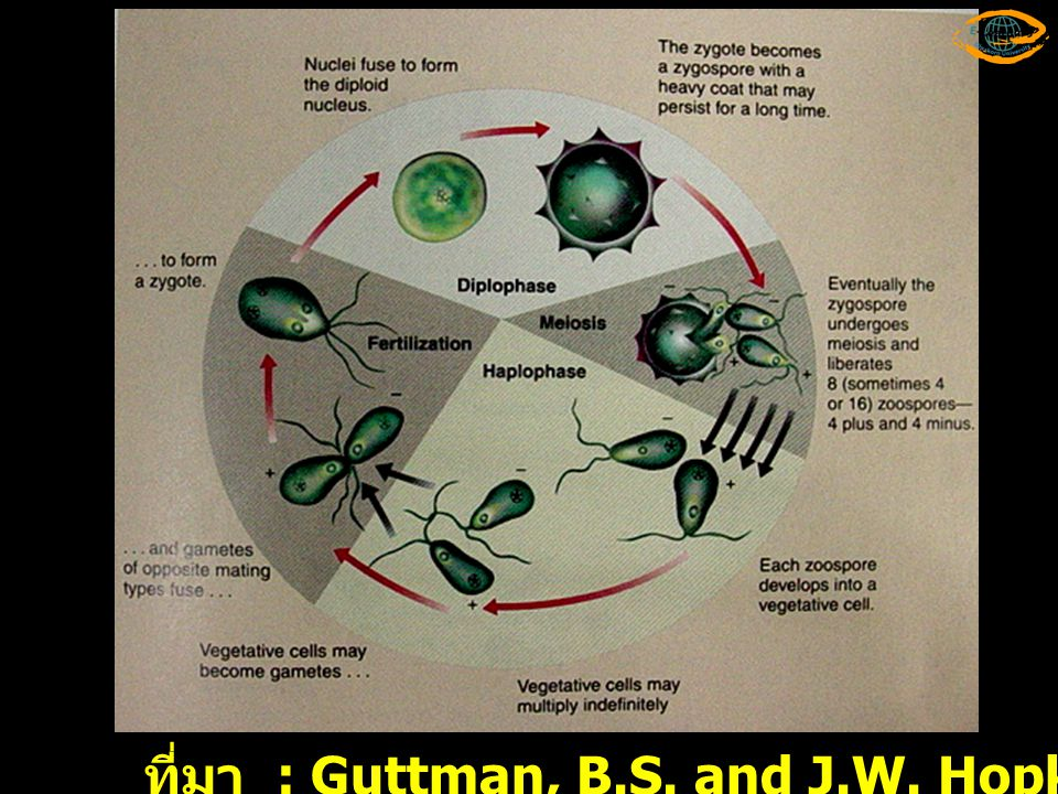 Meio sis MITOSIS ที่มา : Campbell,N.A. and J.B. Reece. 2002. Biology.