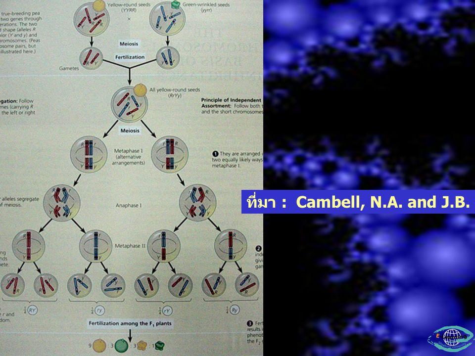 ในระยะ Metaphase I ถ้าสิ่งมีชีวิตมีหลาย โครโมโซมจะมีการเรียงตัวของโครโมโซมคู่เหมือน ก่อนการแยกตัวได้หลายรูปแบบ เช่น 3.