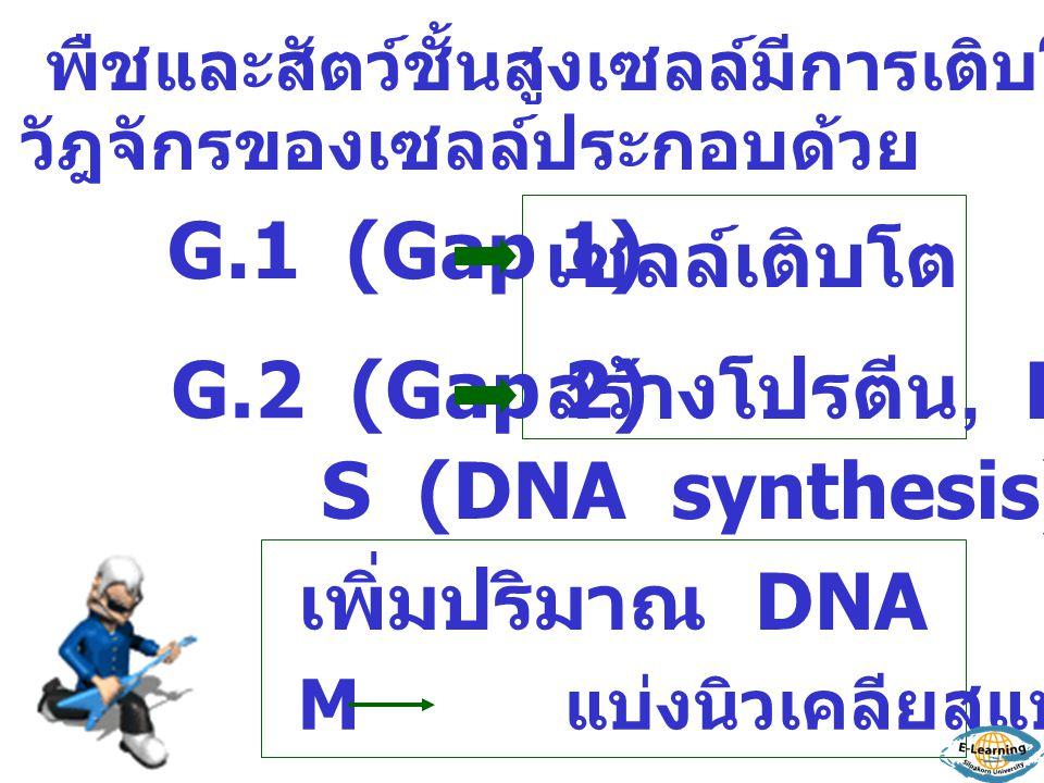 G.1 (Gap 1) G.2 (Gap 2) เซลล์เติบโต สร้างโปรตีน, RNA S (DNA synthesis) เพิ่มปริมาณ DNA พืชและสัตว์ชั้นสูงเซลล์มีการเติบโตโดยการ แบ่งเซลล์ วัฎจักรของเซลล์ประกอบด้วย M แบ่งนิวเคลียสแบบไมโทซิส