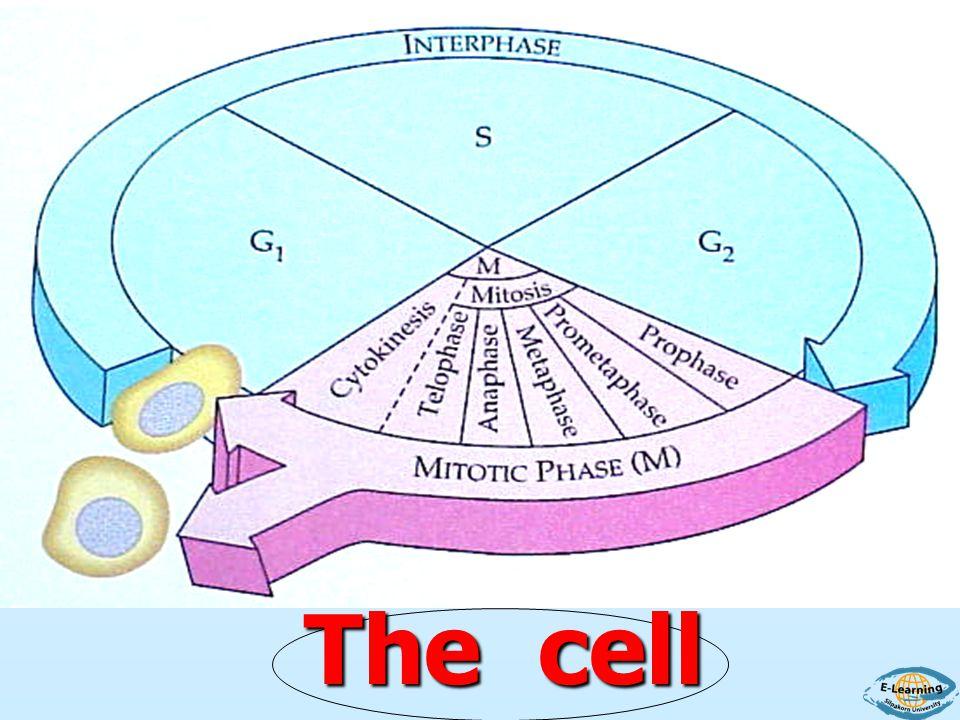 บริเวณรังไข่และอัณฑะของคนจะมีลักษณะ การแบ่งเซลล์ที่ต่างออกไปเรียกไมโอซีส ซึ่งจะผ่าน Interphase เช่นกัน ไมโทซิสที่กล่าวมาเกิดหลังการปฏิสนธิระหว่าง ไข่กับอสุจิ จนกระทั่งให้มนุษย์ตัวโตแต่สำหรับ
