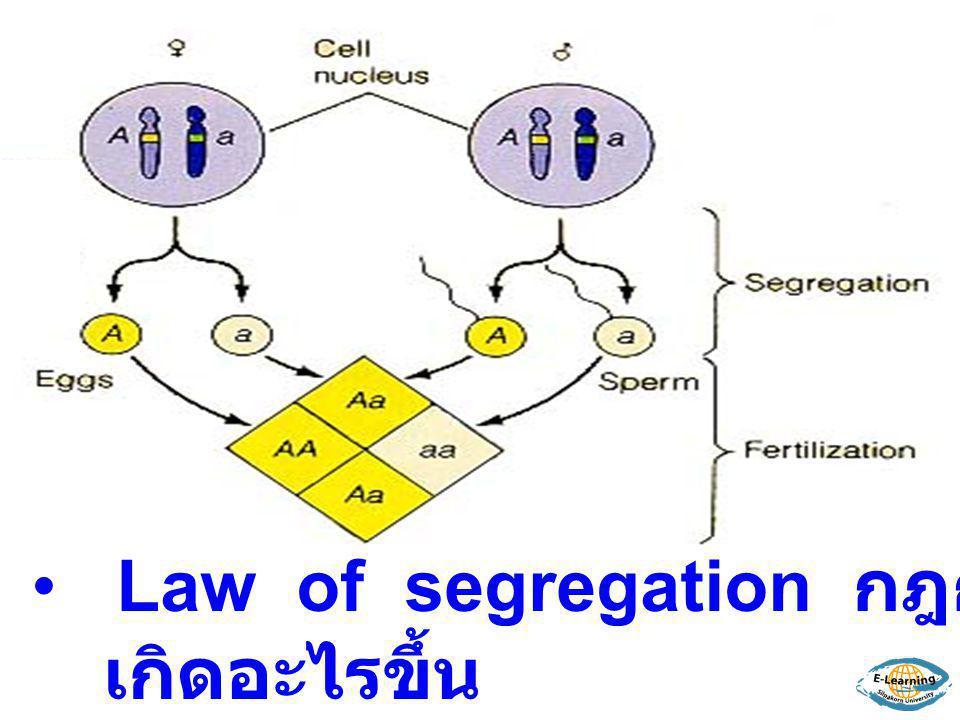 Law of segregation กฎการแยกตัวของยีน เกิดอะไรขึ้น