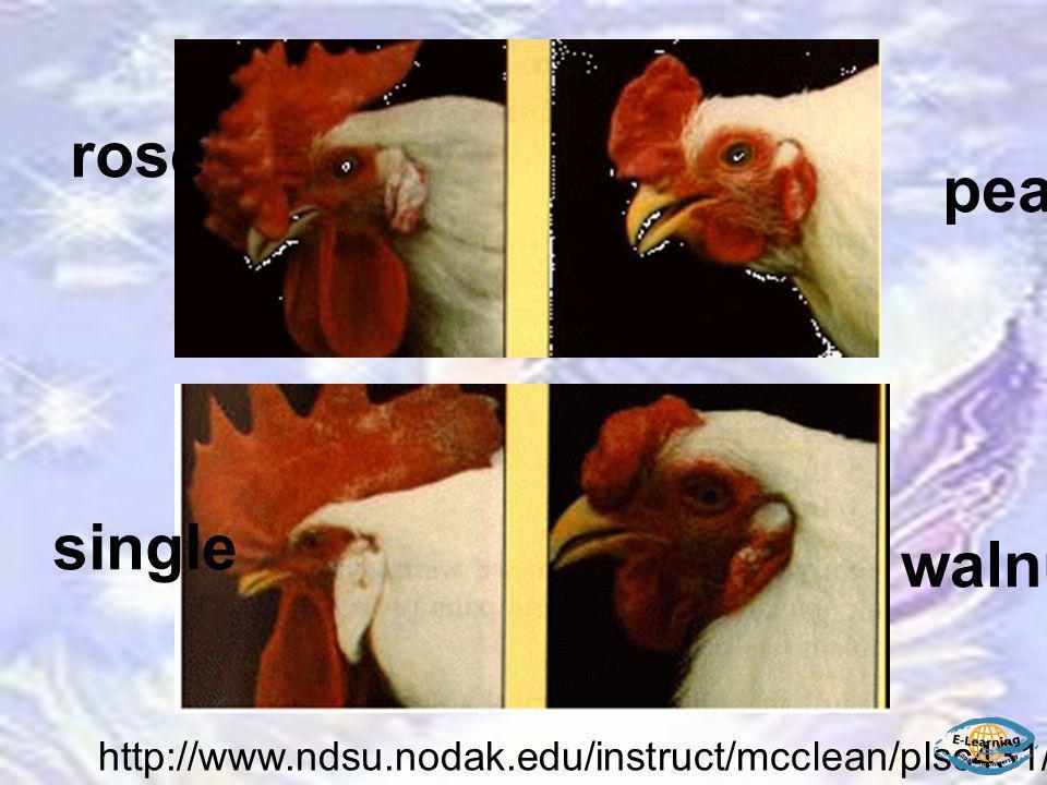 http://www.ndsu.nodak.edu/instruct/mcclean/plsc431/mendel/mendel6.htm walnut single rose pea