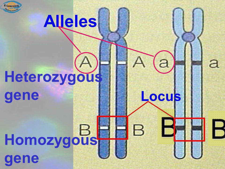 Heterozygous gene Homozygous gene B B Alleles Locus