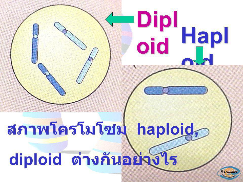 Dipl oid Hapl oid สภาพโครโมโซม haploid, diploid ต่างกันอย่างไร