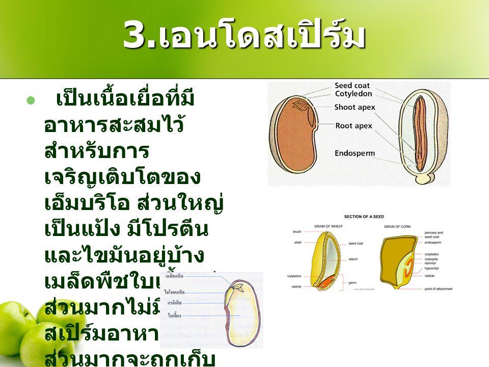 3. เอนโดสเปิร์ม เป็นเนื้อเยื่อที่มี อาหารสะสมไว้ สำหรับการ เจริญเติบโตของ เอ็มบริโอ ส่วนใหญ่ เป็นแป้ง มีโปรตีน และไขมันอยู่บ้าง เมล็ดพืชใบเลี้ยงคู่ ส่