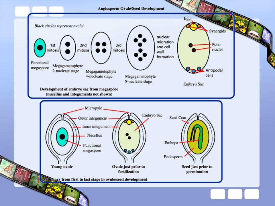 3 เซลล์อยู่ตรงข้าม ไมโคร ไพล์ (micropyle) เรียกว่า แอนติโพแดล (antipodals) ตรงกลาง 1 เซลล์มี 2 นิวเคลียส เรียกว่า เซลล์โพ ลาร์นิวคลีไอ (polar nuclei cell) ด้านไมโครไพล์มี 3 เซลล์ ตรงกลางเป็นเซลล์ไข่ (egg cell) และ 2 ข้างเรียก ซินเนอร์จิด ( synergid) ใน ระยะนี้ 1 เมกะสปอร์ได้พัฒนา ที่เรียกว่า ถุงเอ็มบริโอ (embryo sac) หรือแกมีโท ไฟต์เพศเมีย (female gametophyte)