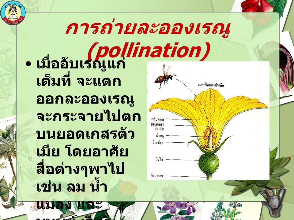 การถ่ายละอองเรณู (pollination) เมื่ออับเรณูแก่ เต็มที่ จะแตก ออกละอองเรณู จะกระจายไปตก บนยอดเกสรตัว เมีย โดยอาศัย สื่อต่างๆพาไป เช่น ลม น้ำ แมลง และ ม