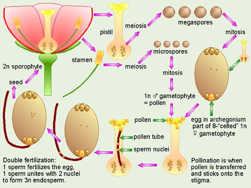 วัฏจักรชีวิตแบบสลับของพืช (alternation of generation) วัฏจักรชีวิตของพืชมีดอก จะมีการสลับกันระหว่าง ช่วง สปอโรไฟต์ ( จะมี จำนวนโครโมโซมเป็นดิ พลอยด์คือมีโครโมโซม 2n ) และ แกมมีโทไฟต์ ( จะมี จำนวนโครโมโซมเป็น แฮ พลอยด์ คือมีโครโมโซม n )