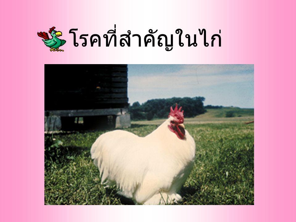 โรคที่สำคัญในไก่