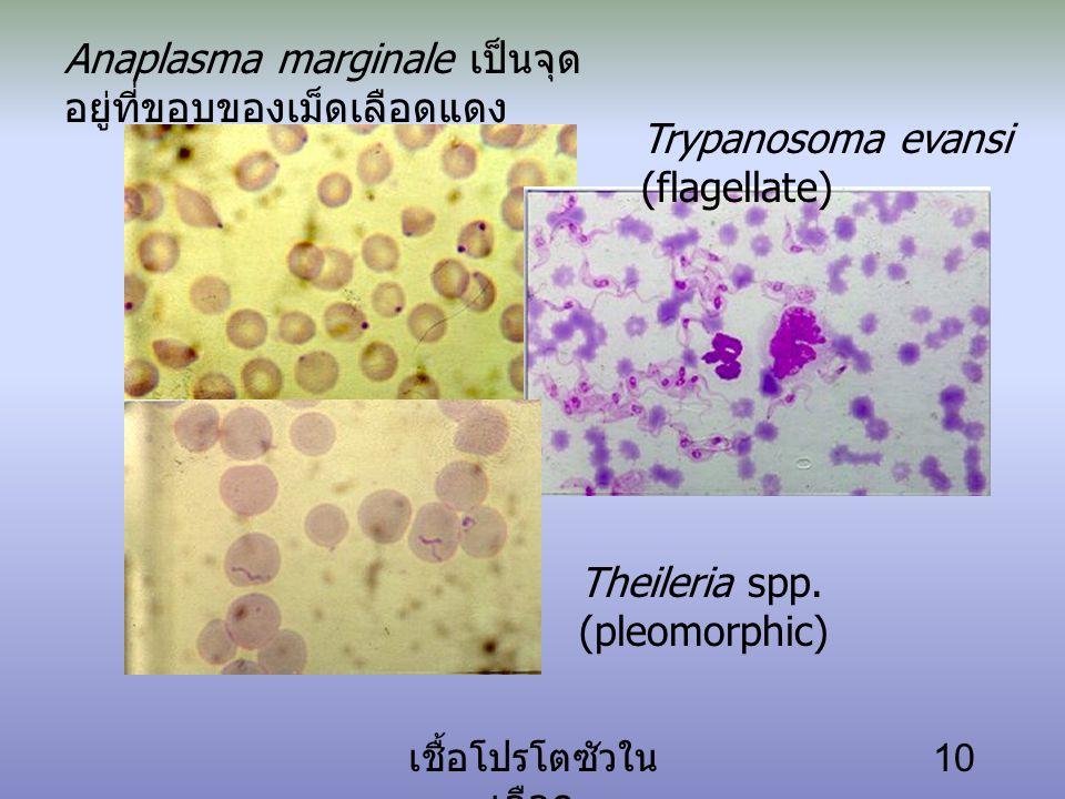 เชื้อโปรโตซัวใน เลือด 10 Anaplasma marginale เป็นจุด อยู่ที่ขอบของเม็ดเลือดแดง Trypanosoma evansi (flagellate) Theileria spp.