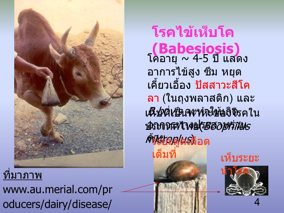 4 โคอายุ ~ 4-5 ปี แสดง อาการไข้สูง ซึม หยุด เคี้ยวเอื้อง ปัสสาวะสีโค ลา ( ในถุงพลาสติก ) และ B.bovis จะทำให้เกิด อาการทางประสาทร่วม ด้วย โรคไข้เห็บโค (Babesiosis) ที่มาภาพ www.au.merial.com/pr oducers/dairy/disease/ boo.html เห็บที่เป็นพาหะของโรคใน ประเทศไทย (Boophilus microplus) เห็บระยะ นำโรค ระยะดูดเลือด เต็มที่