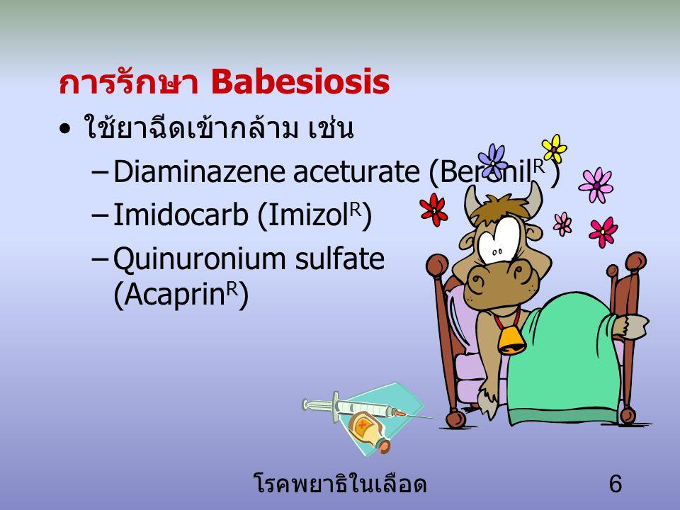 โรคพยาธิในเลือด 6 การรักษา Babesiosis ใช้ยาฉีดเข้ากล้าม เช่น –Diaminazene aceturate (Berenil R ) –Imidocarb (Imizol R ) –Quinuronium sulfate (Acaprin R )