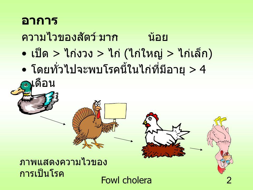 Fowl cholera2 อาการ ความไวของสัตว์ มากน้อย เป็ด > ไก่งวง > ไก่ ( ไก่ใหญ่ > ไก่เล็ก ) โดยทั่วไปจะพบโรคนี้ในไก่ที่มีอายุ > 4 เดือน ภาพแสดงความไวของ การเ